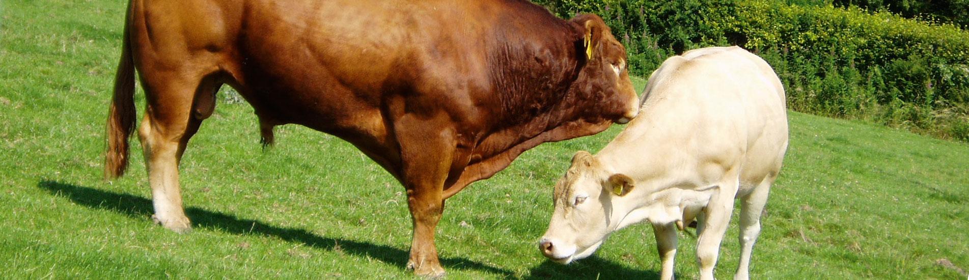 Beef animals at Kimbland Farm, Devon