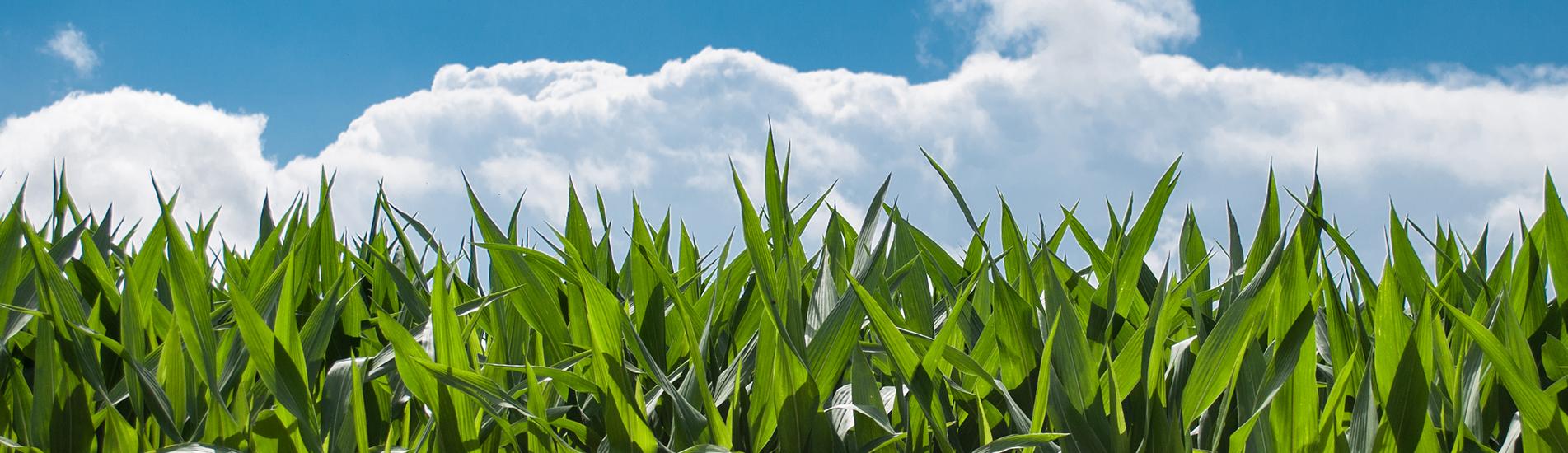 Grass in field