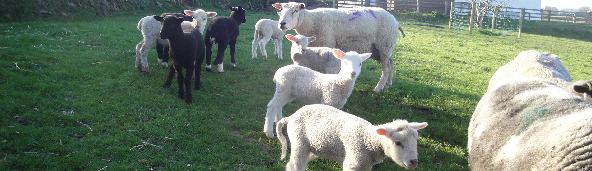 Sheep at Kimbland Farm, Devon
